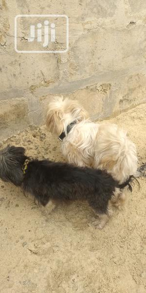 1+ year Male Purebred Lhasa Apso | Dogs & Puppies for sale in Delta State, Udu
