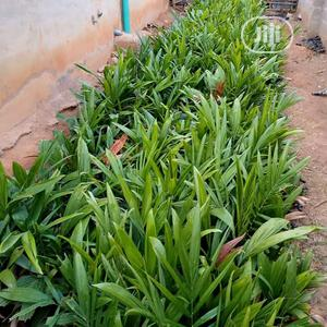 Agric Tenera Palm Seedling   Feeds, Supplements & Seeds for sale in Edo State, Benin City