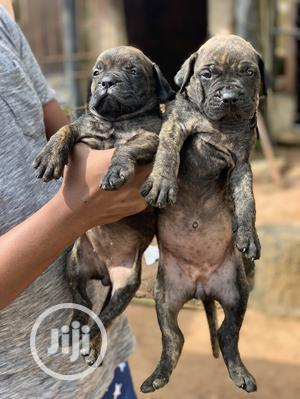 1-3 Month Female Purebred Bullmastiff | Dogs & Puppies for sale in Edo State, Benin City