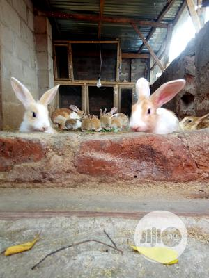 Rabbits For Sale | Livestock & Poultry for sale in Benue State, Makurdi