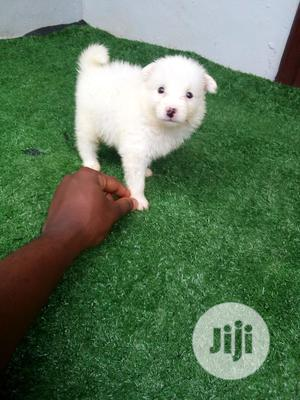 0-1 month Female Purebred American Eskimo   Dogs & Puppies for sale in Lagos State, Ikotun/Igando