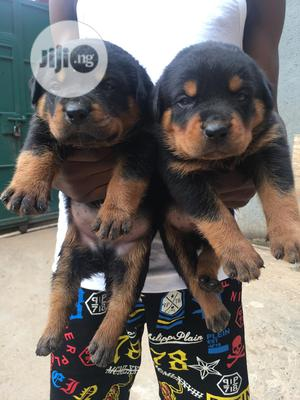 0-1 month Female Purebred Rottweiler | Dogs & Puppies for sale in Lagos State, Surulere