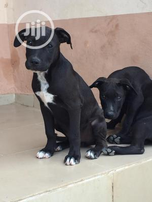 1-3 month Male Purebred American Pit Bull Terrier | Dogs & Puppies for sale in Lagos State, Ajah