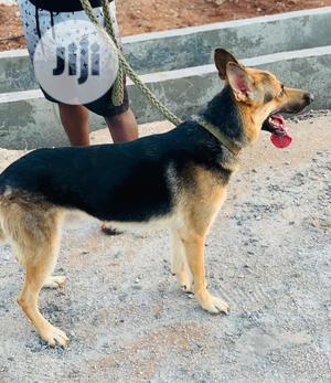 1+ Year Male Purebred German Shepherd | Dogs & Puppies for sale in Oyo State, Ibadan