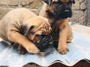 1-3 Month Female Purebred Boerboel | Dogs & Puppies for sale in Abuja (FCT) State, Utako