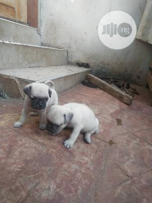1-3 Month Male Purebred Pug | Dogs & Puppies for sale in Abuja (FCT) State, Utako