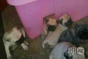 Young Female Purebred Pug | Dogs & Puppies for sale in Lagos State, Lekki