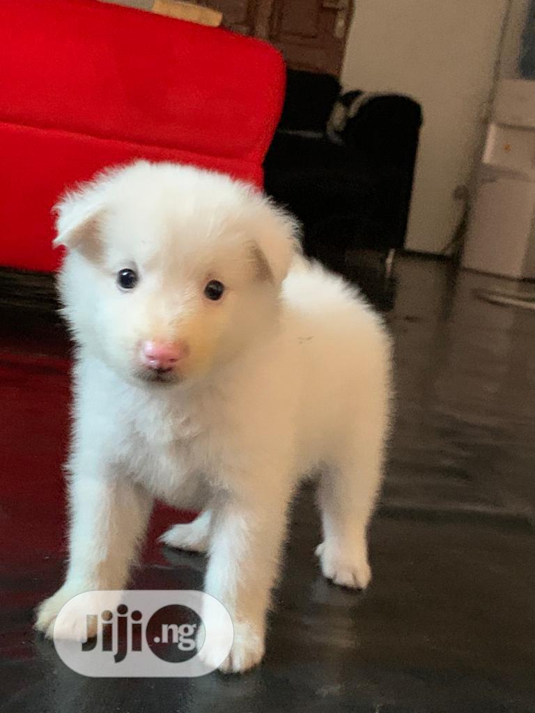 1-3 month Female Purebred American Eskimo | Dogs & Puppies for sale in Ikorodu, Lagos State, Nigeria