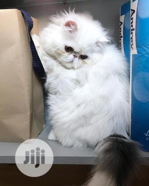 6-12 month Male Purebred Persian   Cats & Kittens for sale in Lagos State, Alimosho