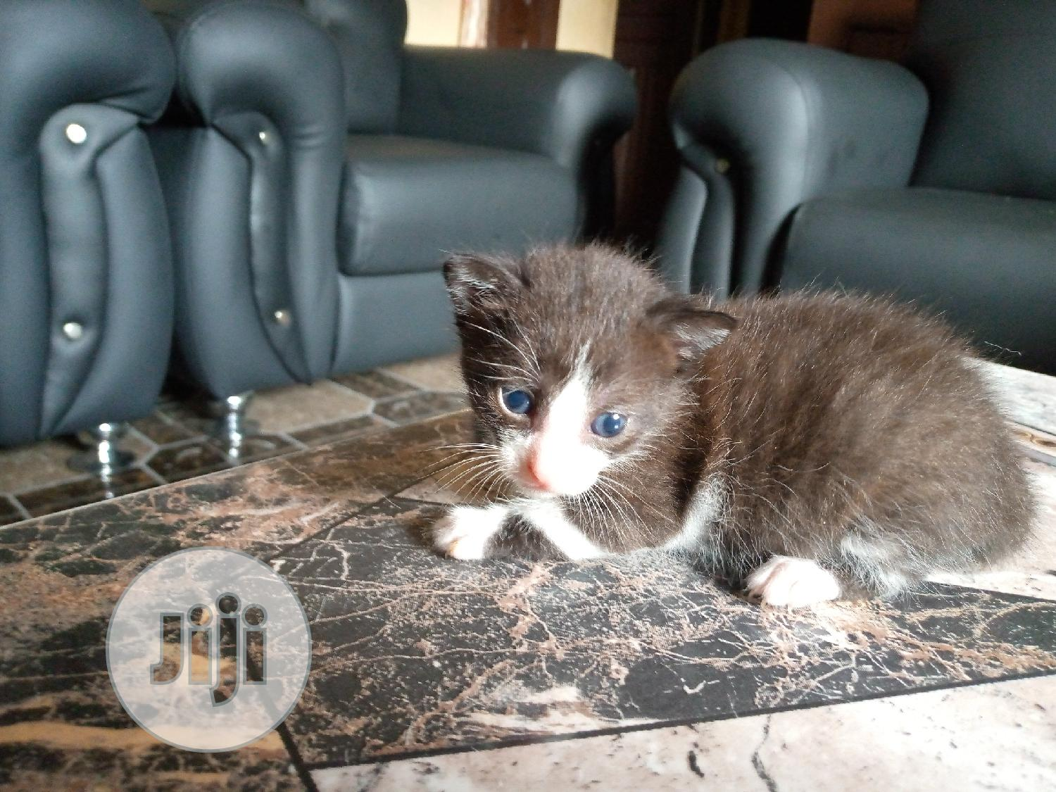 Archive: 0-1 month Female Mixed Breed Persian