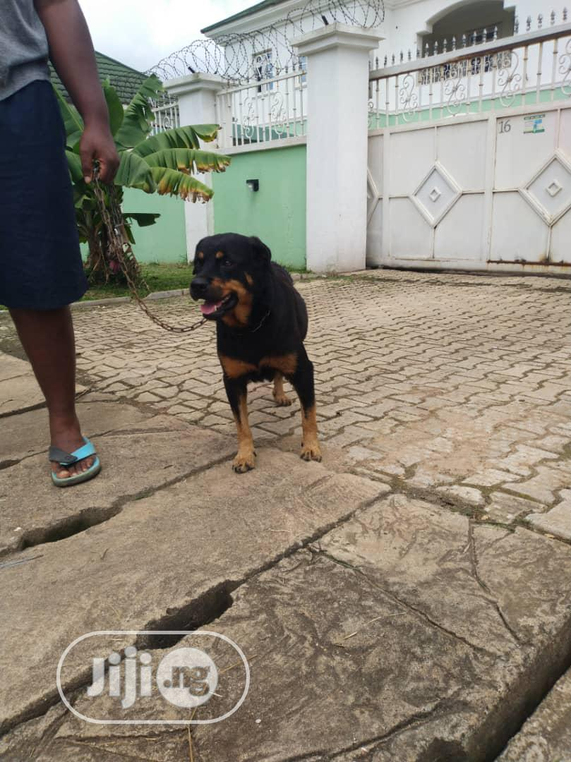 Archive: 1-3 month Female Purebred Rottweiler