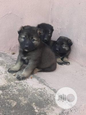 1-3 month Male Purebred Caucasian Shepherd | Dogs & Puppies for sale in Lagos State, Surulere