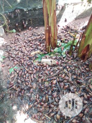 Edibles Snails For Sales | Other Animals for sale in Ogun State, Ado-Odo/Ota