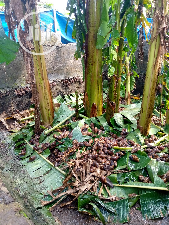 Snails For Your Farm   Other Animals for sale in Ado-Odo/Ota, Ogun State, Nigeria