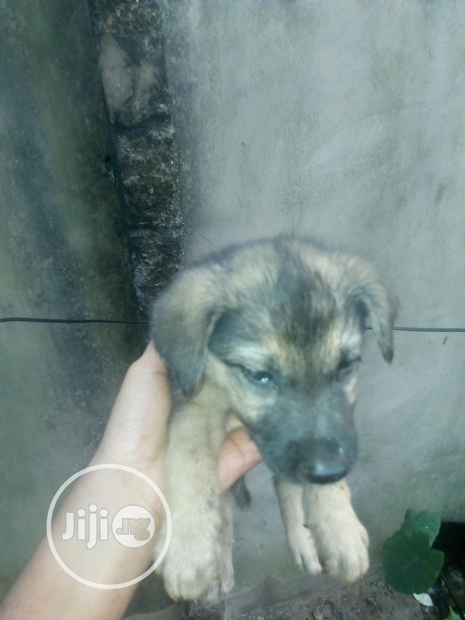 1-3 Month Female Purebred German Shepherd | Dogs & Puppies for sale in Benin City, Edo State, Nigeria