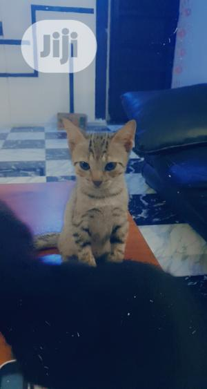 3-6 Month Male Mixed Breed American Shorthair   Cats & Kittens for sale in Lagos State, Victoria Island