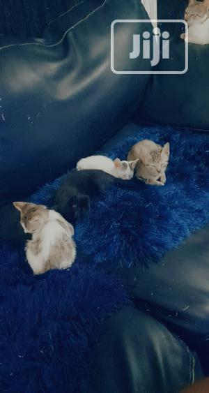 3-6 Month Female Mixed Breed American Shorthair   Cats & Kittens for sale in Lagos State, Victoria Island