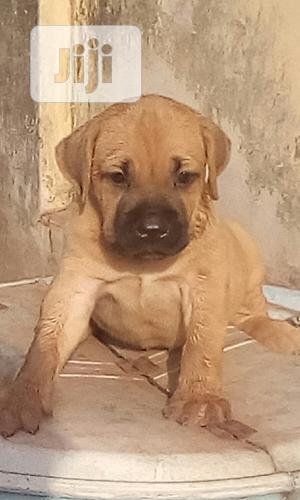 1-3 Month Male Purebred Bullmastiff | Dogs & Puppies for sale in Enugu State, Enugu