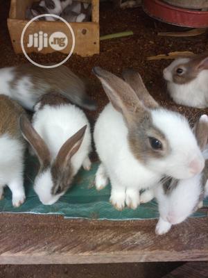 Dutch Rabbits | Livestock & Poultry for sale in Abuja (FCT) State, Kuje