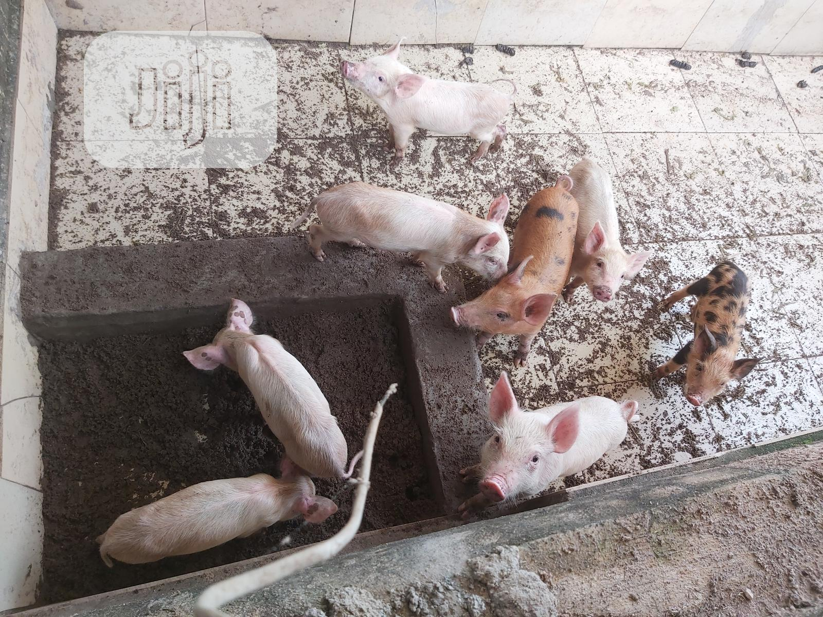 Archive: Pure Agric Piglets