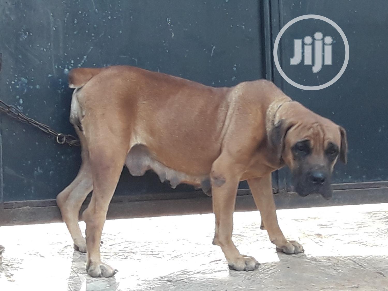 1+ Year Female Purebred Boerboel   Dogs & Puppies for sale in Ifako-Ijaiye, Lagos State, Nigeria