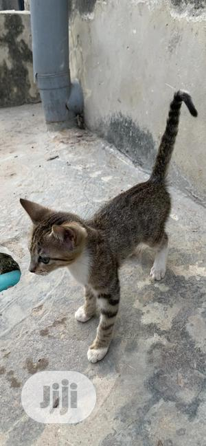 1-3 month Female Mixed Breed Cat | Cats & Kittens for sale in Lagos State, Ifako-Ijaiye