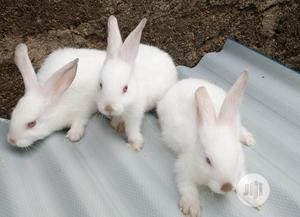 Pure Angora And Hyla NG, Max   Livestock & Poultry for sale in Oyo State, Ibadan