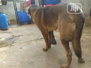 1+ Year Male Purebred Anatolian Shepherd | Dogs & Puppies for sale in Ogun State, Ado-Odo/Ota