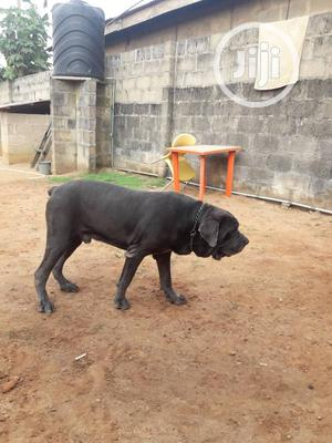 1+ year Female Purebred Neapolitan Mastiff | Dogs & Puppies for sale in Lagos State, Ifako-Ijaiye