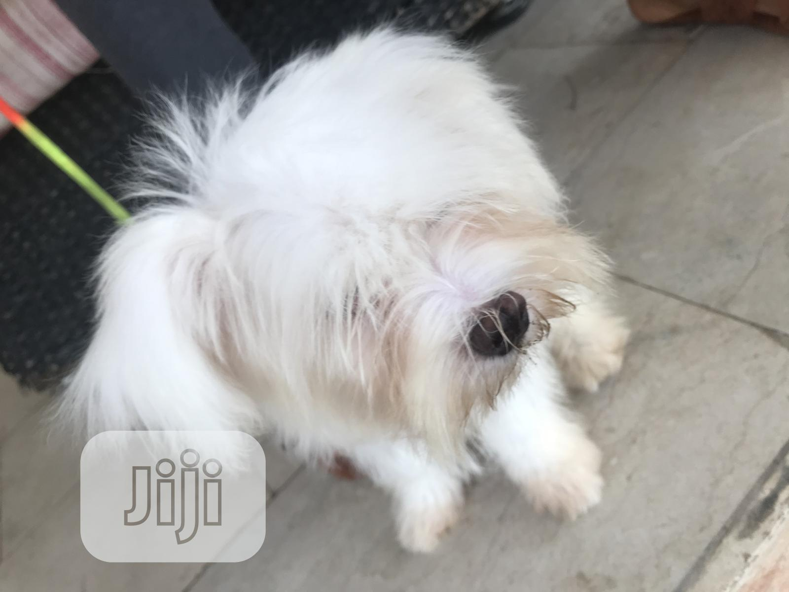 1-3 month Male Purebred Lhasa Apso | Dogs & Puppies for sale in Nyanya, Abuja (FCT) State, Nigeria