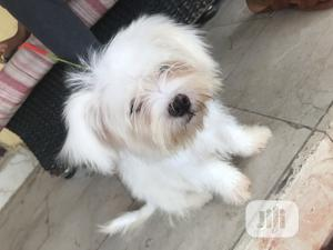 1-3 month Male Purebred Lhasa Apso | Dogs & Puppies for sale in Abuja (FCT) State, Nyanya