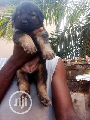 1-3 month Female Purebred German Shepherd | Dogs & Puppies for sale in Enugu State, Enugu