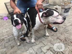0-1 month Male Purebred American Pit Bull Terrier   Dogs & Puppies for sale in Lagos State, Agege