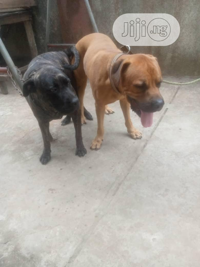 1+ Year Female Purebred Boerboel | Dogs & Puppies for sale in Agege, Lagos State, Nigeria