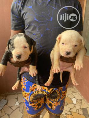 3-6 month Female Purebred American Pit Bull Terrier | Dogs & Puppies for sale in Lagos State, Lekki