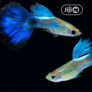 Japanese Guppies Fish | Fish for sale in Oyo State, Ibadan