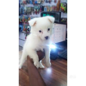 1-3 month Male Purebred American Eskimo   Dogs & Puppies for sale in Lagos State, Ejigbo
