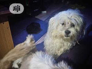 1+ year Male Purebred Lhasa Apso | Dogs & Puppies for sale in Abuja (FCT) State, Kubwa