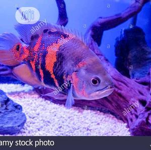 Oscar Fish | Fish for sale in Oyo State, Ibadan