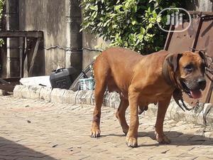 1+ year Female Purebred Boerboel | Dogs & Puppies for sale in Lagos State, Ifako-Ijaiye