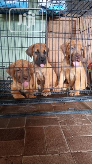 1-3 Month Male Purebred Boerboel | Dogs & Puppies for sale in Lagos State, Ajah