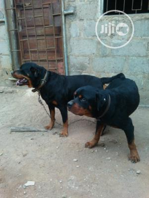 3-6 Month Male Purebred Rottweiler | Dogs & Puppies for sale in Ogun State, Ado-Odo/Ota