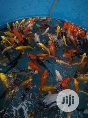 Koi Carp Fish | Fish for sale in Oyo State, Ibadan