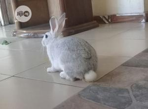Adult Male Chinchilla Ready For Mating | Livestock & Poultry for sale in Delta State, Warri