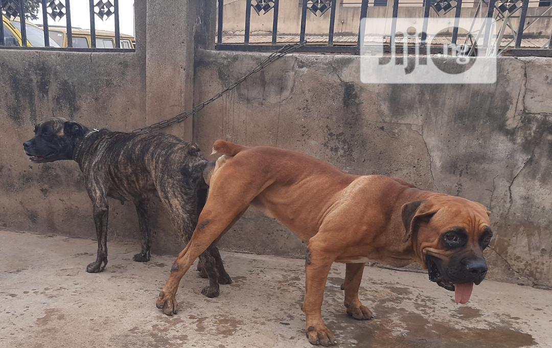 1-3 month Female Purebred Boerboel | Dogs & Puppies for sale in Ibadan, Oyo State, Nigeria