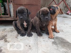1-3 month Female Purebred Boerboel | Dogs & Puppies for sale in Oyo State, Ibadan