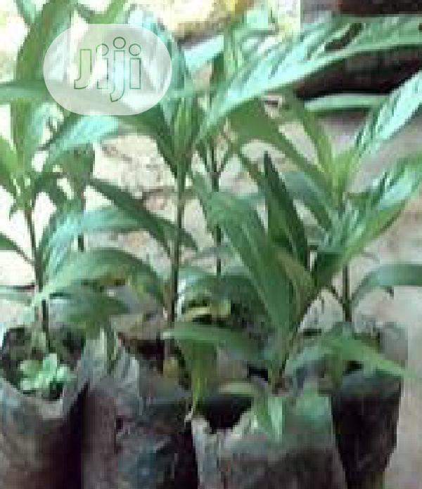 Noni Plant Seedling