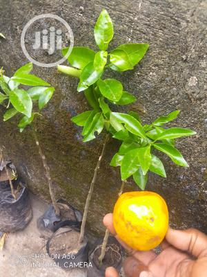 Tangalo Orange Seedlings   Feeds, Supplements & Seeds for sale in Abuja (FCT) State, Zuba