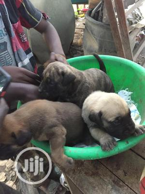 0-1 Month Female Purebred Boerboel   Dogs & Puppies for sale in Lagos State, Surulere