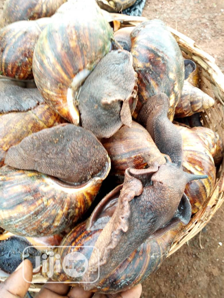 Healthy Snails Are Sold Here In Our Farm